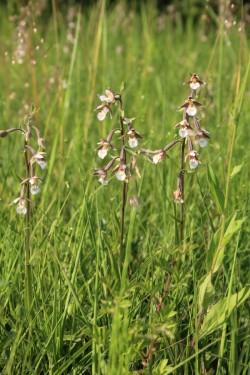 01 Epipactis palustris Habitus