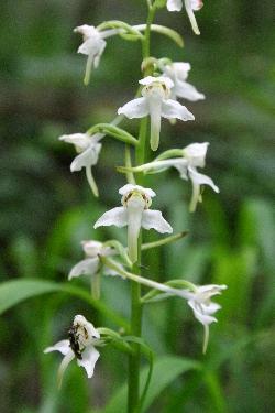 Platanthera clorantha 1