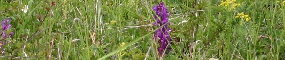 Orchis mascula Kopf